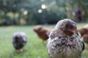 Een kip kijkt van dichtbij recht in de camera