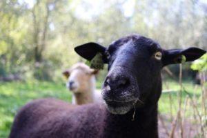 Een schaap kijkt recht in de camera
